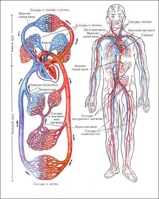 Система Сердечно-Сосудистая фото